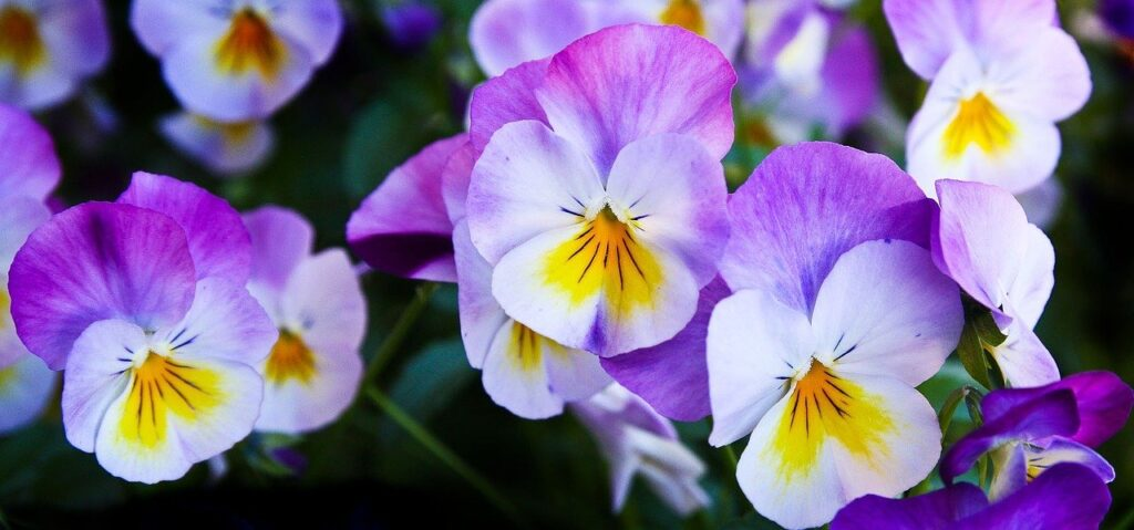 pansy, flowers, purple