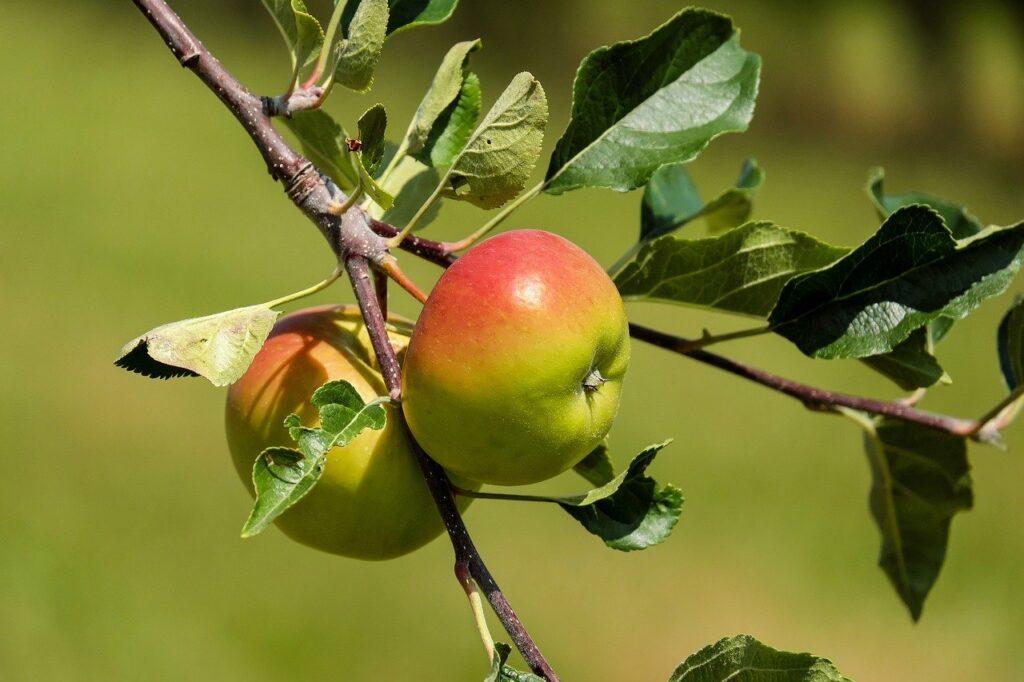 apple, fruit, fruits