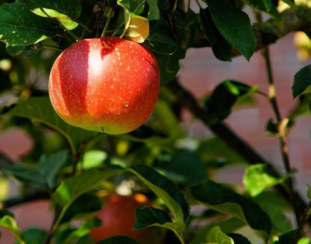 apple, tree, apple orchard