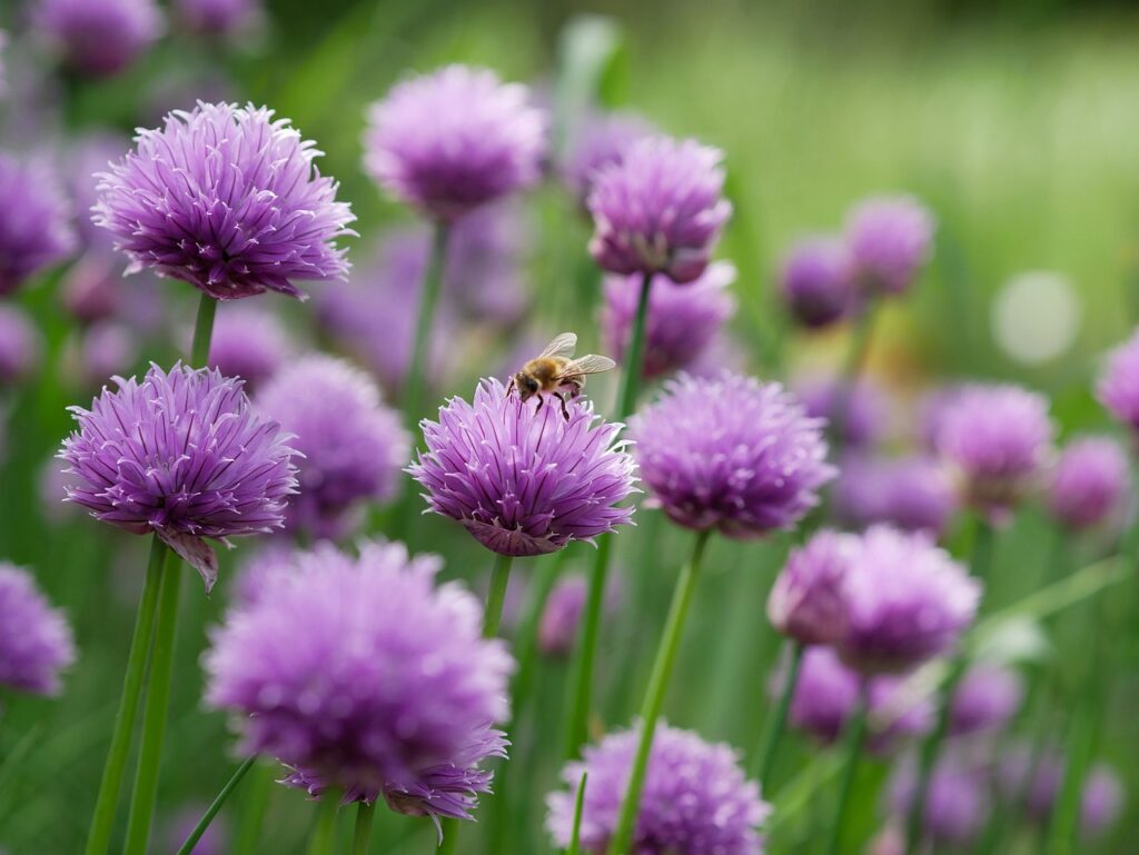 chives, purple, chive flowers