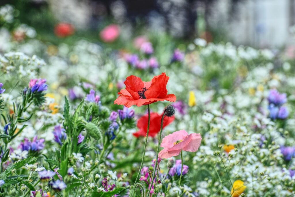 flower meadow, poppy, blossom