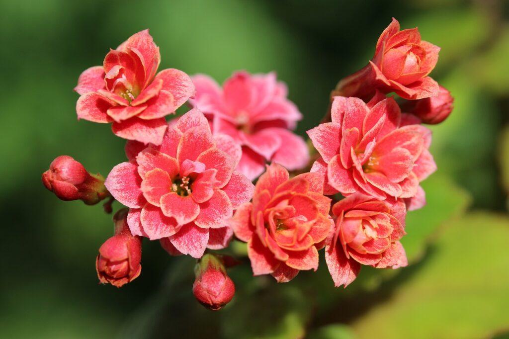 kalanchoe, succulent, flowers
