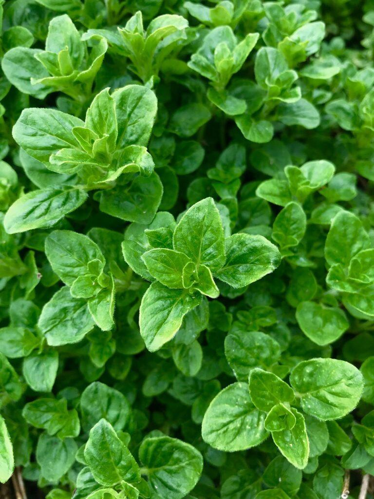 oregano, herb, garden