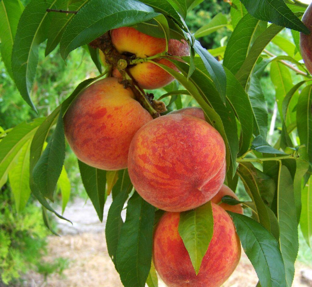 peach, fruit, mature