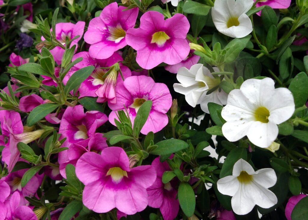 petunia, flower, blossom