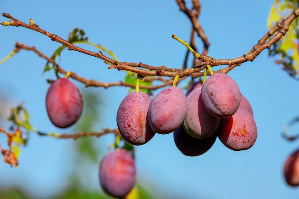 plums, plum tree, fruit